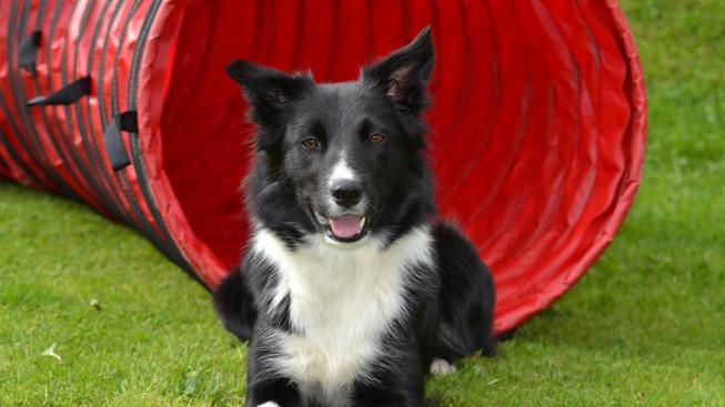Chaser, pes s rekordní pamětí
