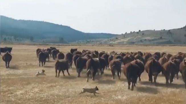 Vítejte na ranči, kde dobytek pasou dva úžasní mopsíci!