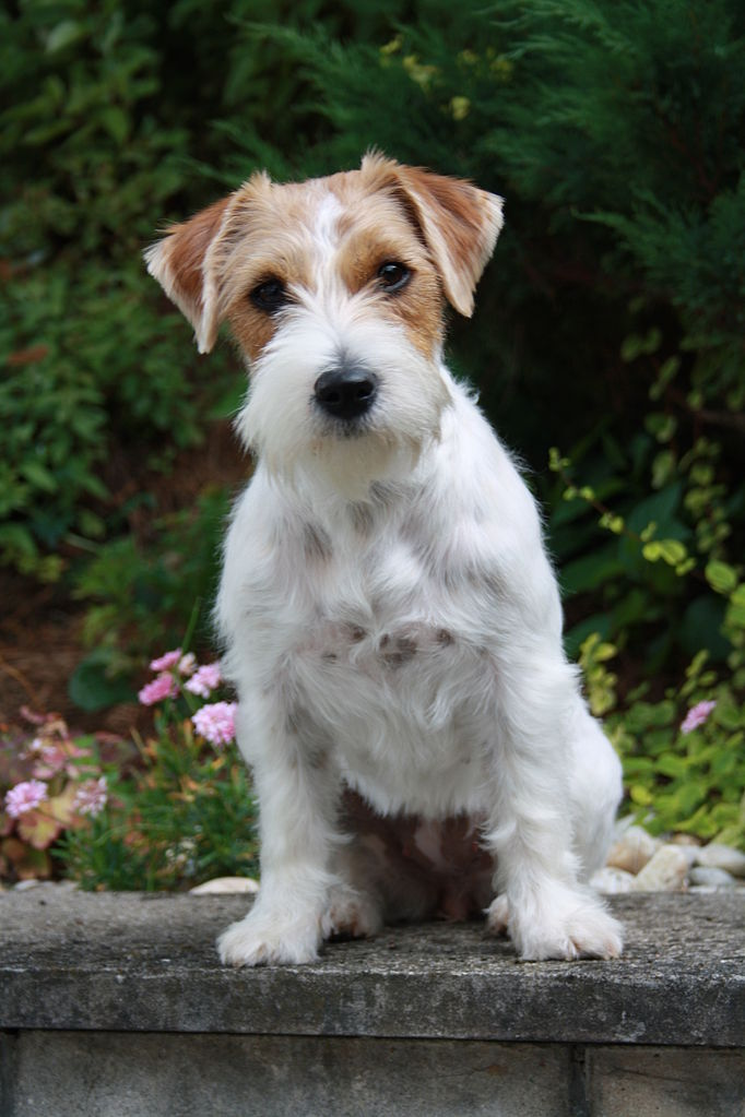 682px-Rough_coat_Jack_Russell_terrier
