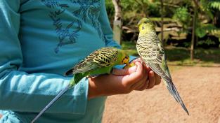 Nenáročný papoušek, jako například andulka, může být dětskému chovateli kamarádem i zdrojem poučení