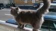 Chantilly-Tiffany: Krásné, ale prokleté kočičí krasavice