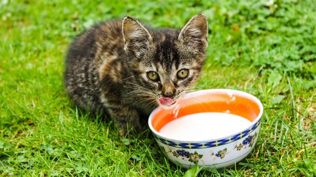 Proč by kočky neměly pít mléko