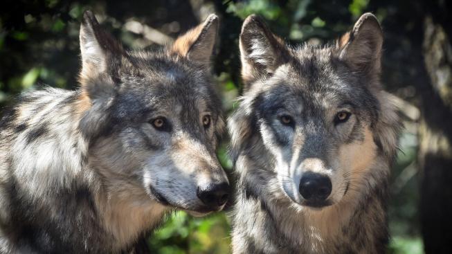 Ochočení vlci tíhnou k lidem stejně jako psi