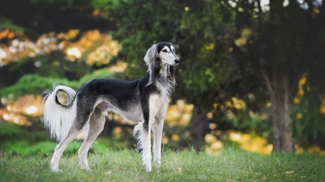 Saluka - psí aristokrat, na kterého je i Korán krátký