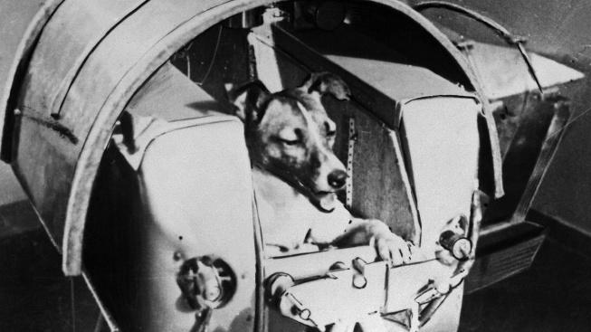 První zvíře na oběžné dráze: Lajka uhynula na přehřátí pár hodin po startu