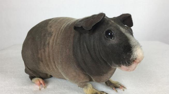 Skinny_Pig_Adult_Female