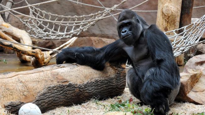 Nejvíc sexy samec pražské zoo, gorilák Richard, slavil narozeniny