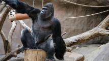 Gorilí samec Richard