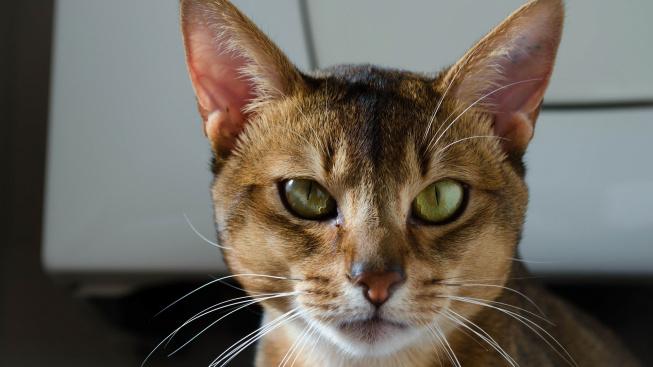 Habešanky - zvědaví klauni kočičího království