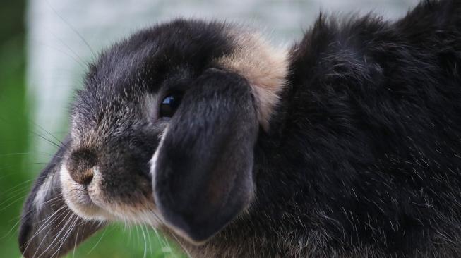 Když králík kulhá, zpozorněte