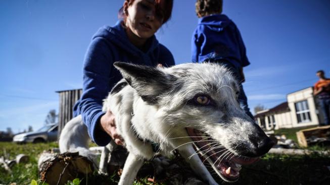 Dá se liška ochočit? Vědci na Sibiři na to mají jasný názor