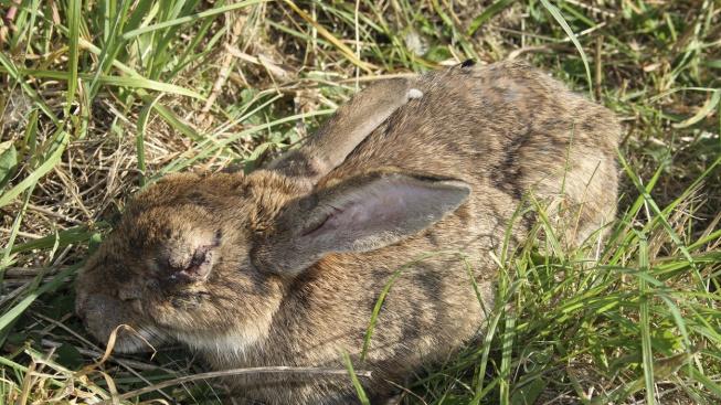 Myxomatóza: Zákeřná, ale podceňovaná králičí nemoc