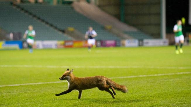 Liška během fotbalového zápasu sebrala brankáři dres