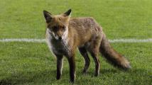 Liška na hřišti