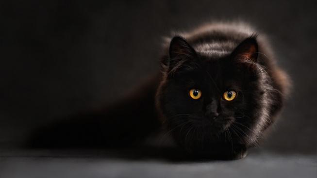 Nosí černé kočky opravdu smůlu?