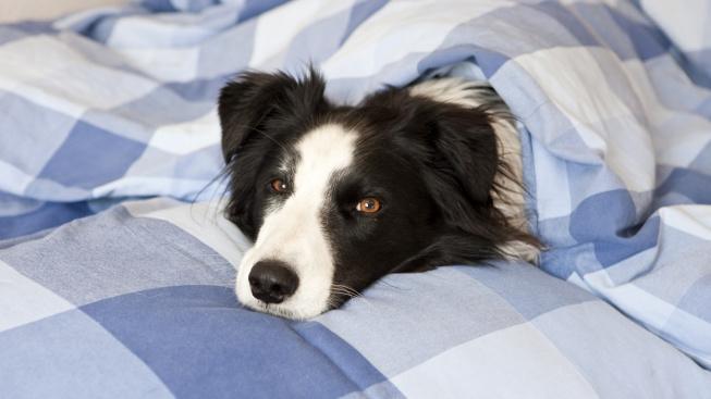Kde se vzala psí posedlost olizováním polštářů?