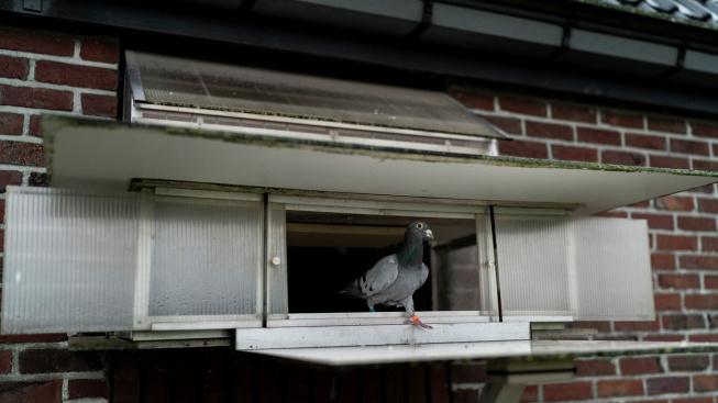 Zasloužilá holubí šampionka se vydražila za rekordních 42 milionů korun