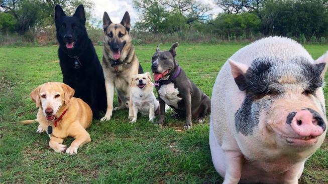 Žiju se psy, tak jsem jedním z nich, řeklo si prasátko