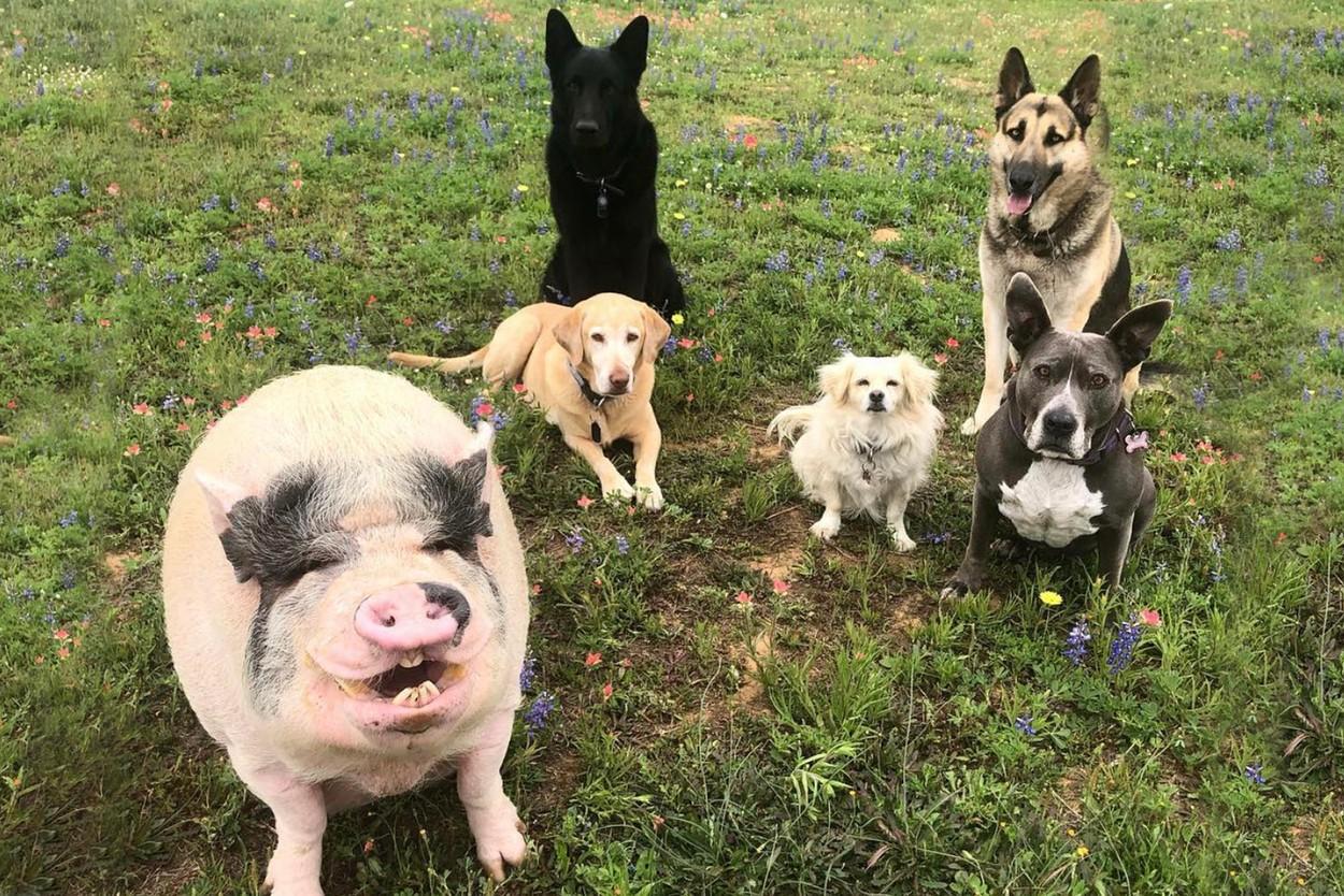 Prase mezi psy