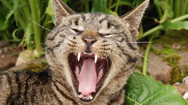 Jak a proč kontrolovat kočce zuby