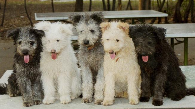 Pumi je sice trošku hlasitější pes, ale svou rodinu miluje nade vše