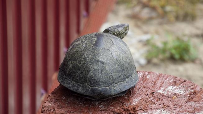 Chov želv: Jak zařídit bydlení suchozemským želvám