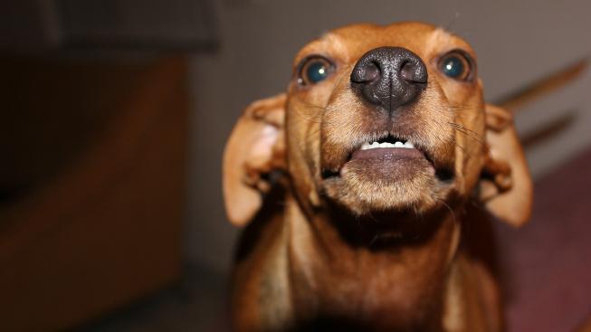 Proč někteří psi nevrčí?