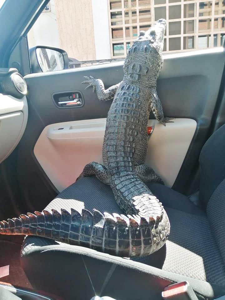 Krokodýlí mazlíček