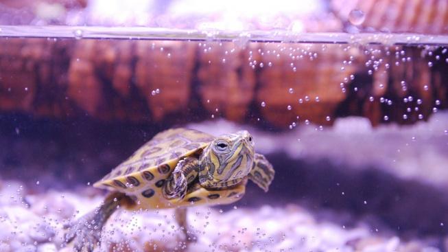 Chov želv: Co nesmí chybět v akváriu pro vodní želvy
