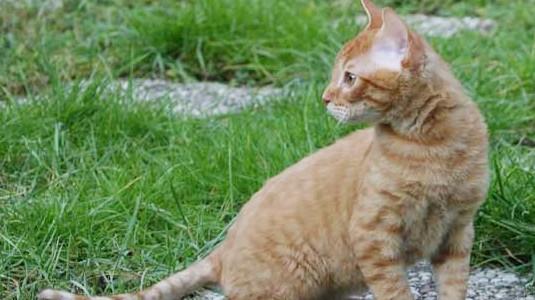 Německý rex - kučeraví kočičí beránci