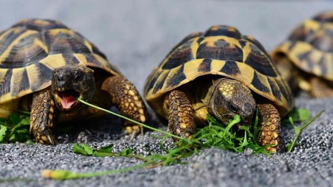 Chov želv: Jídelníček suchozemských želv