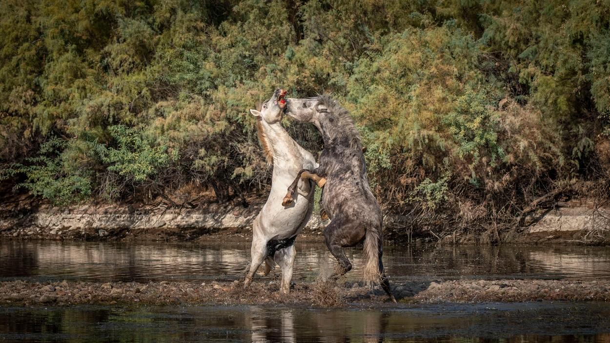 Zápas divokých koní