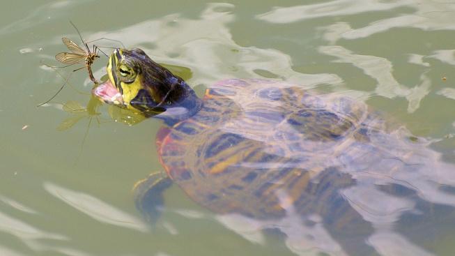 Chov želv: Jak krmit vodní želvy