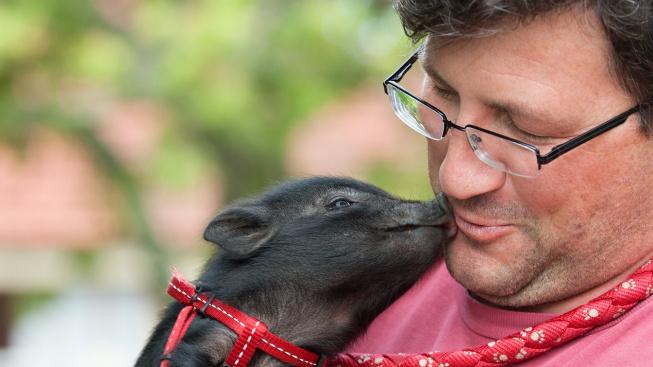 Prasečí mazlíčci mají své páníčky rádi stejně jako psi, odhalila studie
