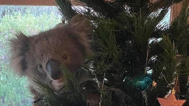 Do domu v Austrálii se vloupala koala. Ozdobila vánoční stromeček