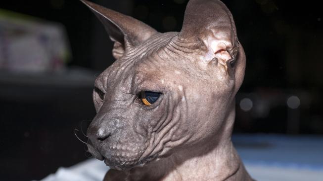 Donský sphynx - přítulná dáma, co se nebojí ukázat kůži