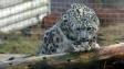 Koronavirus v americké zoo: Nakazil se sněžný levhart