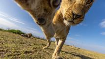 Lví selfie