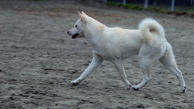Kishu-inu: Japonská 'přírodní památka' a slavný Goro, bílý pes