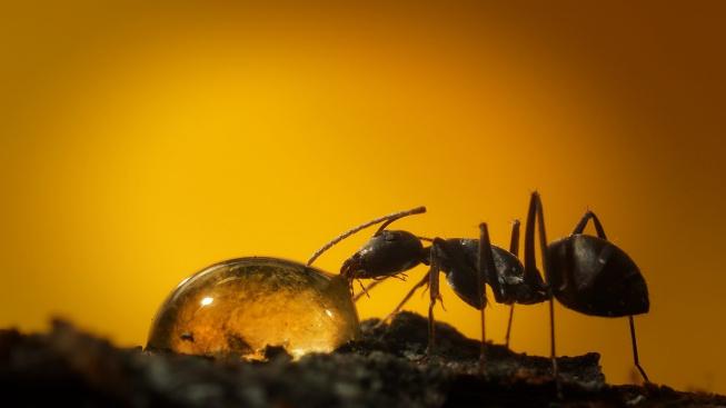 Jak mravenci pijí? Podívejte se na úchvatné fotky!
