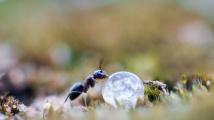 Jak mravenci pijí