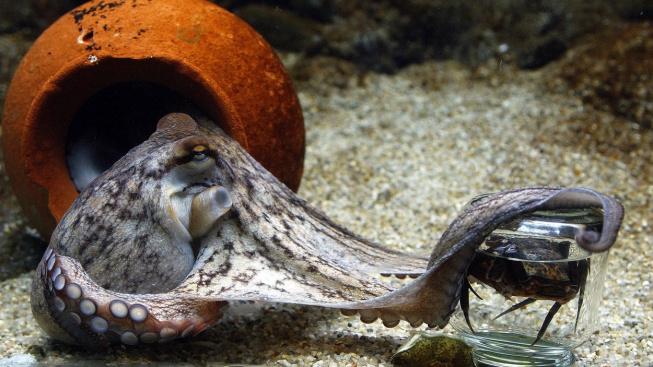 Chobotnice doma v akváriu? Jde to, ale moc dobrý nápad to není