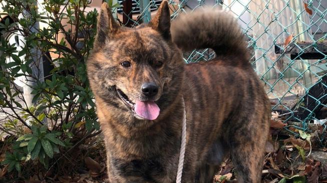 Kai ken - vzácný tygří pes je skrytý japonský poklad