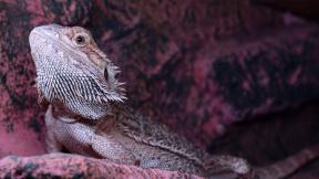 bearded-dragon-3276841_1920