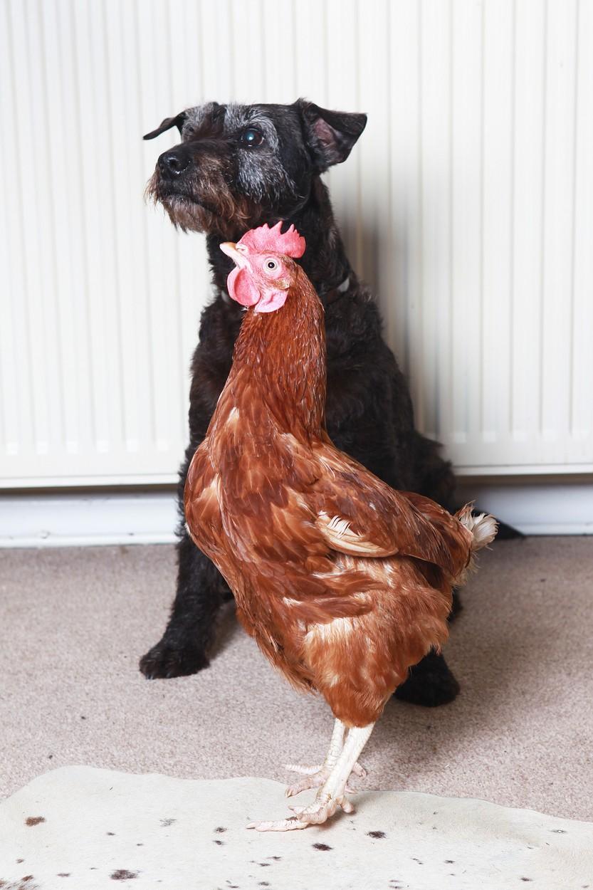 Adoptované kuře
