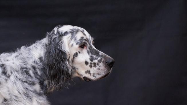 Elegantní psí gentleman vždy připravený k lovu
