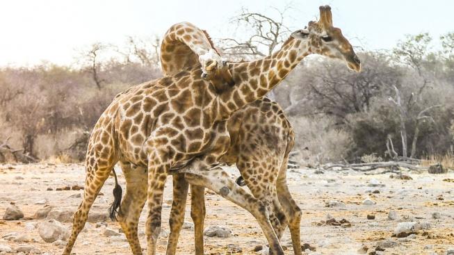 Žirafy, jak je neznáte: Elegantně brutální souboj o samici může končit smrtí