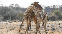 Souboj žiraf