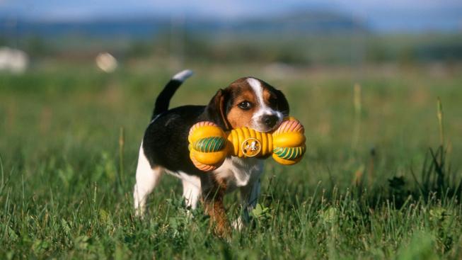Proč psi tak milují pískací hračky