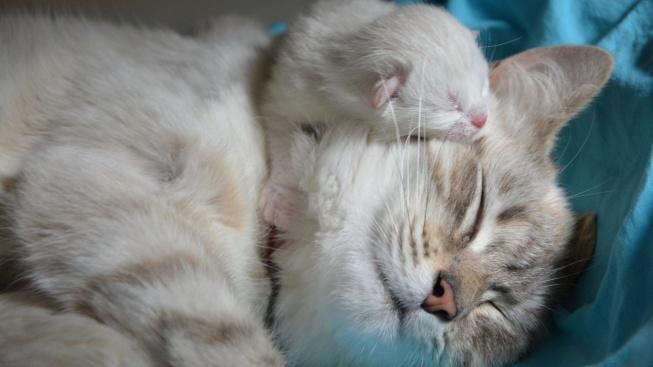 Jak pečovat o kočku po porodu